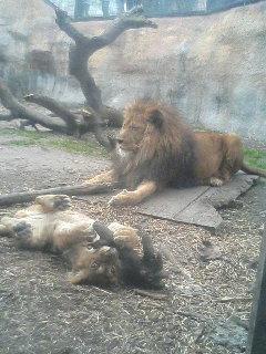 ライオンの巻。